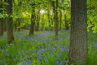 Bluebells in ancient woodland of Gillfield Wood, Totley, Sheffield, South Yorkshire, England, United Kingdom, Europe - RHPLF07748