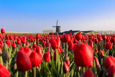Fields of red tulips surround the typical windmill, Berkmeer, municipality of Koggenland, North Holland, The Netherlands, Europe - RHPLF07763