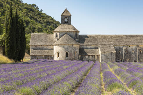 Lavender crop in front of Senanque Abbey, Gordes, Vaucluse, Provence-Alpes-Cote d'Azur, France, Europe - RHPLF08165