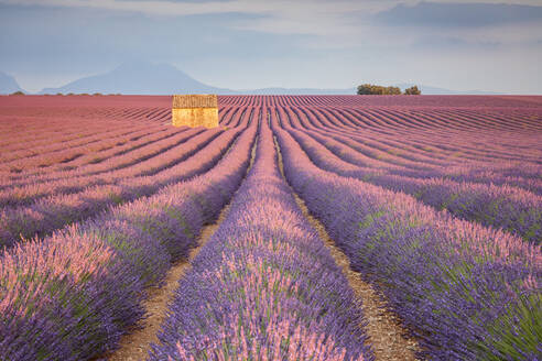 House in a lavender field at sunset, Plateau de Valensole, Alpes-de-Haute-Provence, Provence-Alpes-Cote d'Azur, France, Europe - RHPLF08171