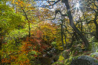 Trees over Burbage Brook during autumn in Peak District National Park, England, Europe - RHPLF08333
