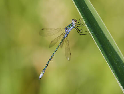 Close-up of Common Binsenjungfer on leaf, Bavaria, Germany - SIEF08965