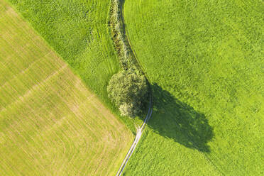 Aerial view of tree and path on meadow at Bichl, Upper Bavaria, Bavaria, Germany - SIEF08996