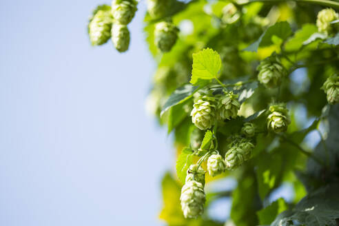 Close-up of hops crop growing against clear sky at Hallertau - MAEF12932
