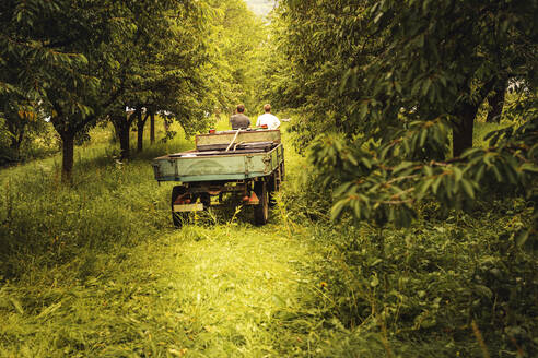 Two people with tractor transporting harvested cherries in orchard - SEBF00157