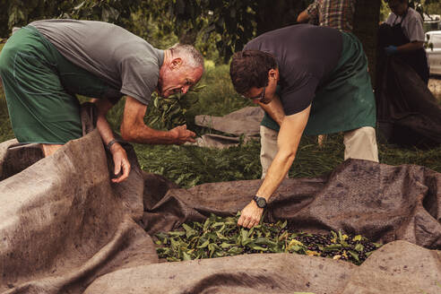 Two men during cherry harvest in orchard, sorting harvested cherries - SEBF00160