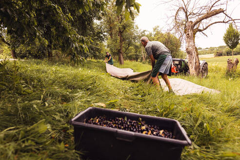 Two men during cherry harvest in orchard, laying out tarpaulin - SEBF00181