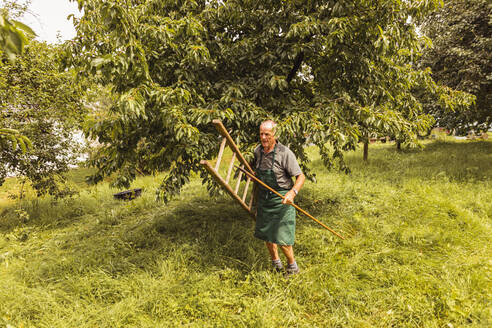 Senior man carrying ladder during cherry harvest in orchard - SEBF00184