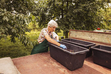 Senior woman sorting harvested cherries on trailer in orchard - SEBF00187