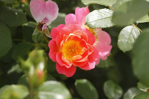 Close-up of pink rose growing in garden at Germany - JTF01288