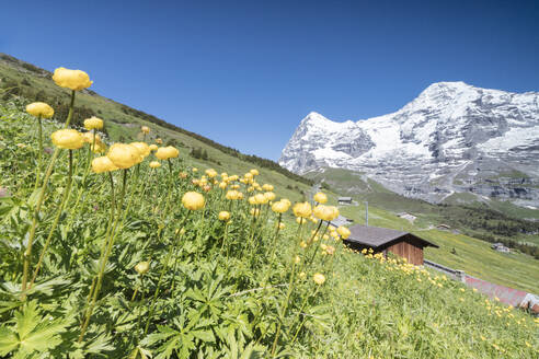 Blooming of yellow flowers framed by green meadows and snowy peaks, Wengen, Bernese Oberland, Canton of Bern, Switzerland, Europe - RHPLF08798