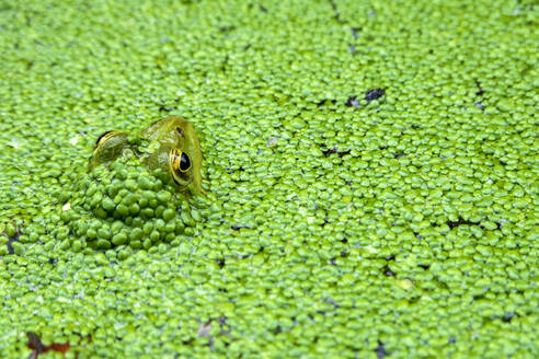 Close-up of frog swimming in pond - NDF00974