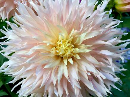 Close-up of dahlia growing in park - JTF01323