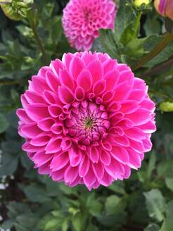 Close-up of pink dahlia growing in garden - JTF01326