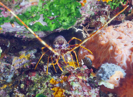 Close-up of European Lobster on rock in sea, Sagone, Corsica, France - ZCF00807