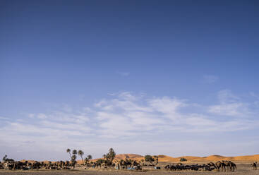 Beautiful landscape of palm trees and camels in the dunes of the desert of Morocco - OCMF00723