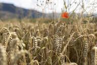 Wheat field - SEBF00198