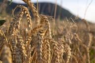 Wheat field - SEBF00201