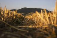 Wheat field in the evening - SEBF00204