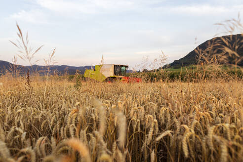 Organic farming, wheat field, harvest, combine harvester in the evening - SEBF00225
