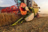 Organic farming, wheat field, harvest, combine harvester in the evening - SEBF00228