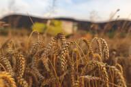 Organic farming, wheat field, harvest, combine harvester in the evening - SEBF00231