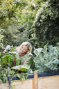 Blond woman harvesting mangold from her raised bed in her own garden - HMEF00510