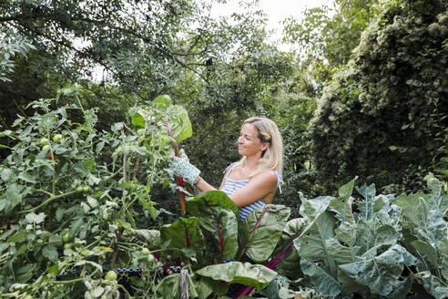 Blond woman harvesting mangold from her raised bed in her own garden - HMEF00513