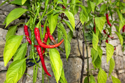 Close-up of chili pepper growing on plants - NDF00976