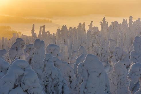 Snow covered trees (Tykky), at sunrise, Ruka, Kuusamo, Finland, Europe - RHPLF10218