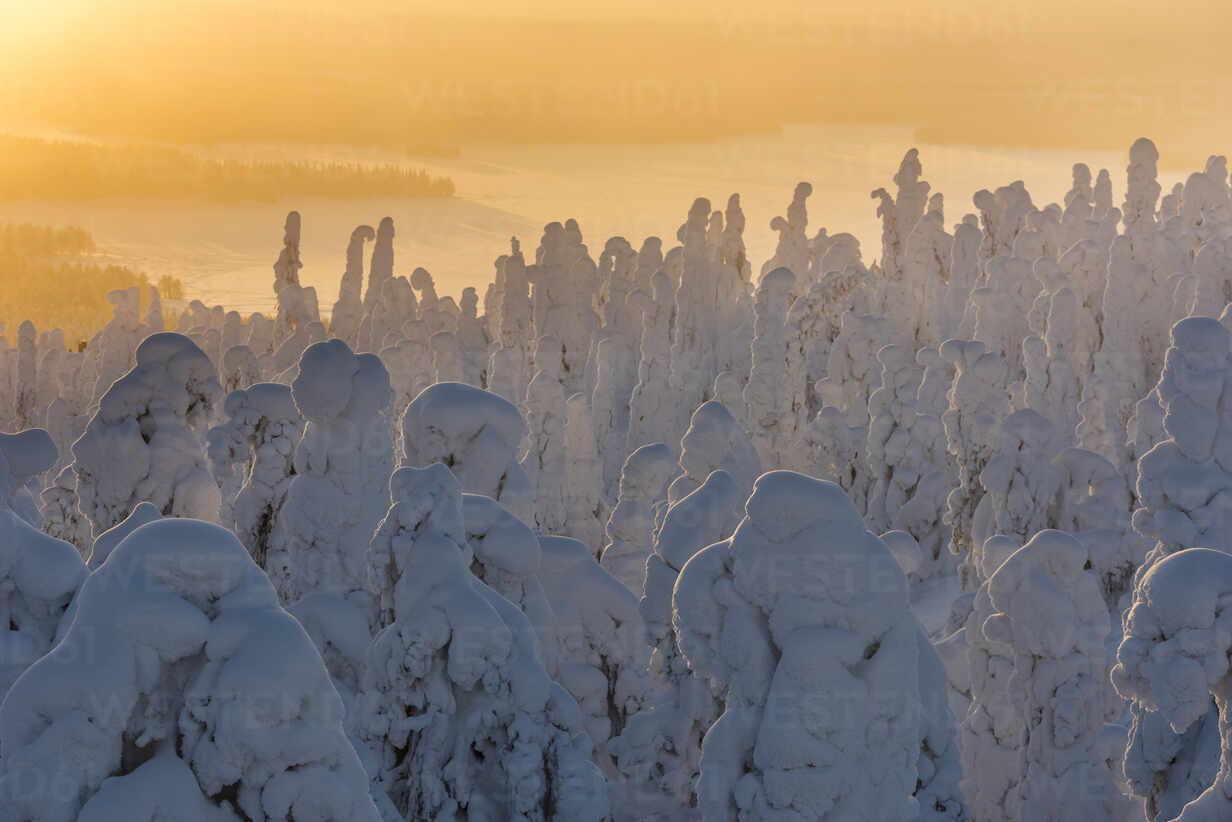 Snow covered trees (Tykky), at sunrise, Ruka, Kuusamo, Finland, Europe - RHPLF10218 - RHPL/Westend61