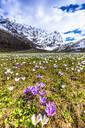 Flowering of Crocus nivea in Val Radons (Radons Valley), Albula region, Canton of Grisons (Graubunden), Switzerland, Europe - RHPLF10260
