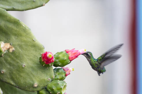 Humming bird drinking from a cactus, Vinales, UNESCO World Heritage Site, Cuba, West Indies, Caribbean, Central America - RHPLF10454