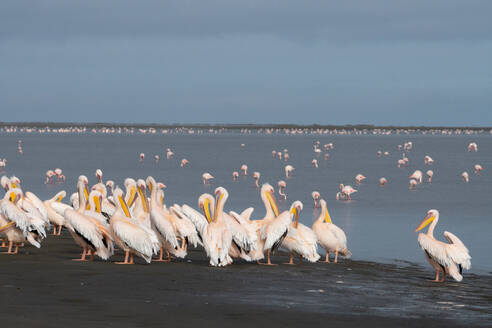 Great White African Pelicans gather on the Wetlands, Greater Flamingos with pink bills in the background, Walvis Bay, Namibia, Africa - RHPLF10530
