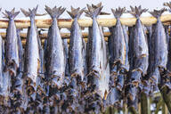 Stockfish on wood racks, Lofoten Islands, Nordland, Norway, Europe - RHPLF10602