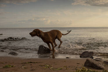 Dog running at the beach in the evening - VPIF01522