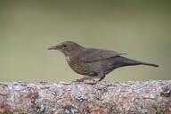 Close-up of blackbird perching on tree trunk - MJOF01715