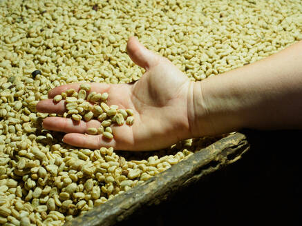 Processed coffee beans in a drying oven, Hacienda Guayabal, near Manizales, Coffee Region, Colombia, South America - RHPLF11987