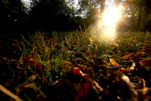 Close-up of autumn leaves on grassy land in park at sunset - JTF01348