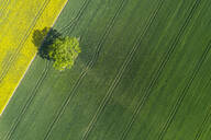 Germany, Mecklenburg-Western Pomerania, Aerial view of lone tree growing in vast wheat field in spring - RUEF02332