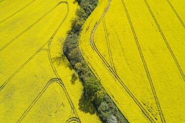 Germany, Mecklenburg-Western Pomerania, Aerial view of row of trees between vast rapeseed fields in spring - RUEF02344
