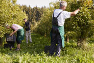 Organic farmers harvesting williams pears - SEBF00240