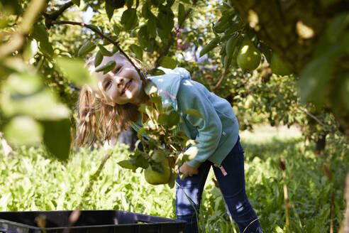 Streuobstwiesen, Deutschland, Baden-Württenberg, Owen, Schwäbische Alb, Bio-Williamsbirnen-Ernte beim Biobauern für lokal gebranten Williamsbrand, kleines Mädchen hilft bei der Ernte - SEBF00243