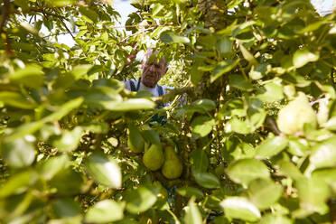 Organic farmer harvesting williams pears - SEBF00246