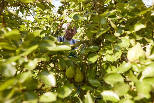 Streuobstwiesen, Deutschland, Baden-Württenberg, Owen, Schwäbische Alb, Bio-Williamsbirnen-Ernte beim Biobauern für lokal gebranten Williamsbrand - SEBF00246