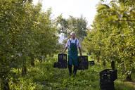 Organic farmer harvesting williams pears, carrying boxes - SEBF00249
