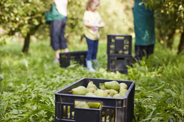 Girl harvesting organic williams pears, helping organic farmers - SEBF00252