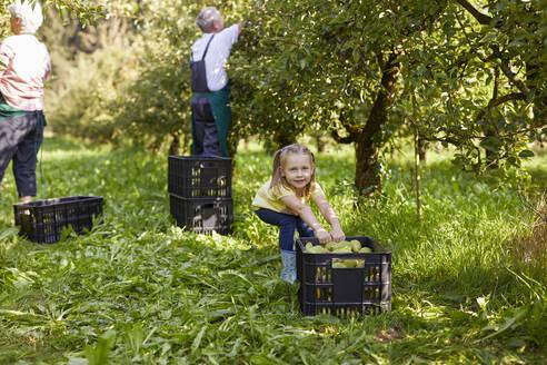 Streuobstwiesen, Deutschland, Baden-Württenberg, Owen, Schwäbische Alb, Bio-Williamsbirnen-Ernte beim Biobauern für lokal gebranten Williamsbrand, kleines Mädchen hilft bei der Ernte - SEBF00255