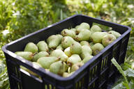 Fruit crate with williams pears - SEBF00258