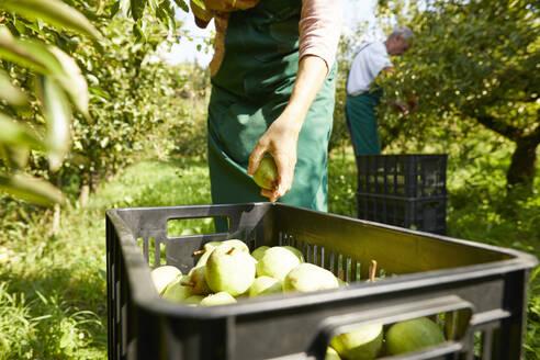 Organic farmers harvesting williams pears - SEBF00264